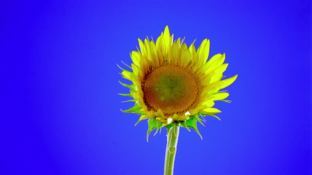 Close-up Sunflower opening petals