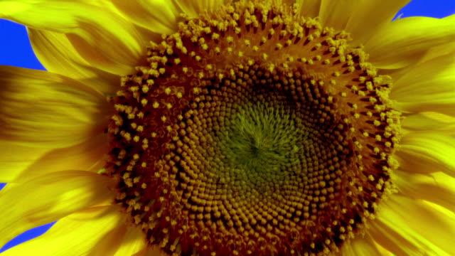 Close-up Sunflower stamen blossoming