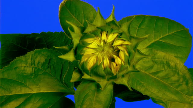 close-up sunflower stamen blossoming - blossom stock videos & royalty-free footage