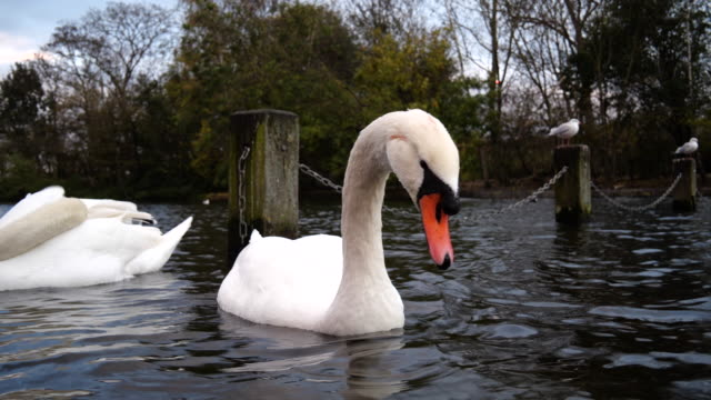 close-up swan couple swimming in hyde park - mute swan stock videos & royalty-free footage