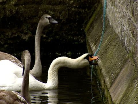 2003 Close-up Swans swimming in moat and pulling rope attached to bell outside castle/ Southampton, Hampshire, England