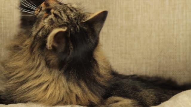 クローズアップタビー猫遊び - 雑種のネコ点の映像素材/bロール