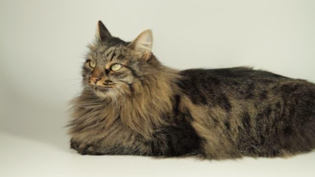 stockvideo's en b-roll-footage met close up cyperse cat - hd format