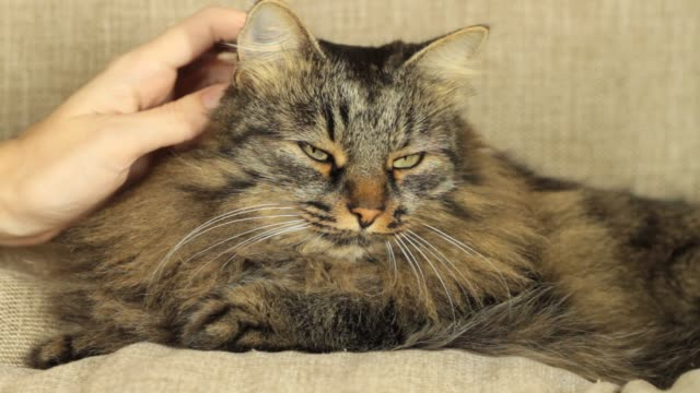 close-up tabby cat - black hairy women stock videos & royalty-free footage