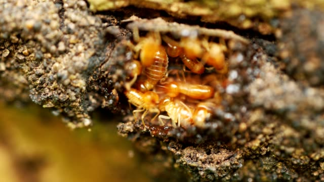 close-up termites workers repairing a tunnel on tree. - insect stock videos & royalty-free footage