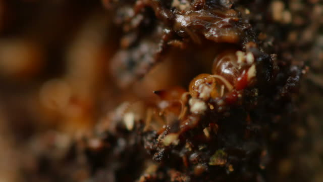 close-up termites workers repairing a tunnel. - building activity stock videos & royalty-free footage