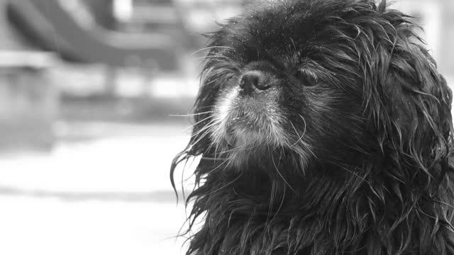 クローズアップ - 路上で雨の中で孤独な老犬の顔(黒と白) - 突き出た鼻点の映像素材/bロール