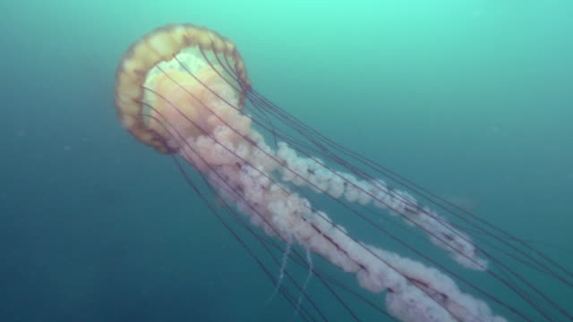close-up: the long tentacles and oral arms of a pacific sea nettle jellyfish  - monterey, ca - nettle stock videos & royalty-free footage