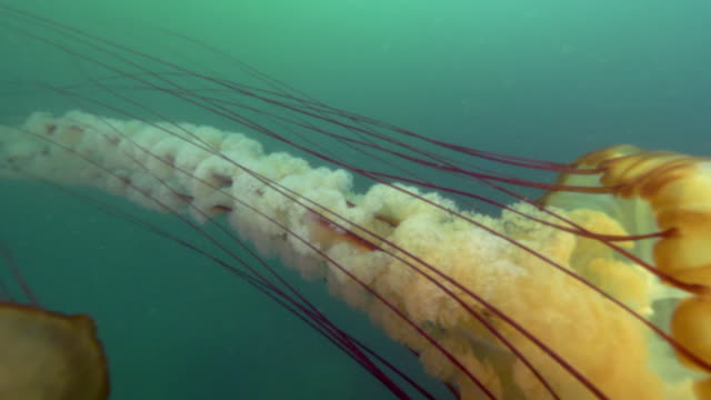 vídeos y material grabado en eventos de stock de close-up: the long tentacles and oral arms of a pacific sea nettle jellyfish extending from its body - monterey, ca - tentáculo
