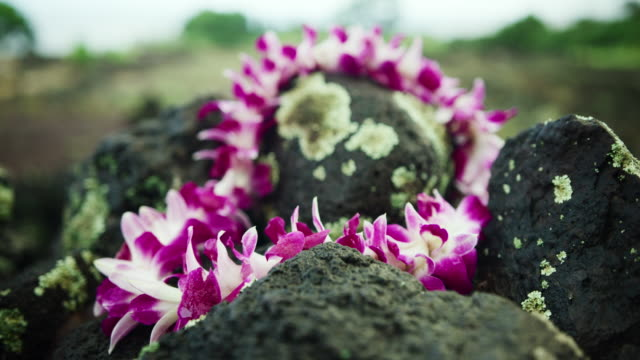 close-up: the petals of an orchid lei laying on lava rocks - oahu, hawaii - plant attribute stock videos and b-roll footage