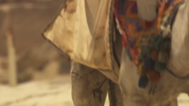 Close-up tilt over a man riding a camel next to Giza's ancient pyramids, Egypt.