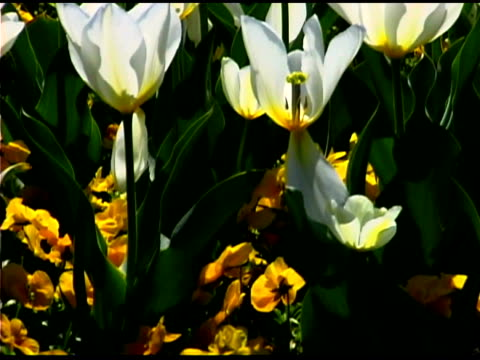 close-up tilt up to back lit white tulips - back lit video stock e b–roll