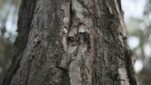 松の木のチルトアップにクローズアップ - 木肌点の映像素材/bロール