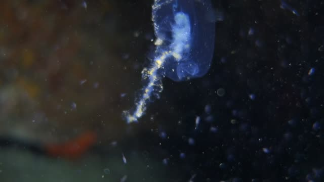 close-up: translucent jellyfish floating in the ocean - translucent stock videos & royalty-free footage