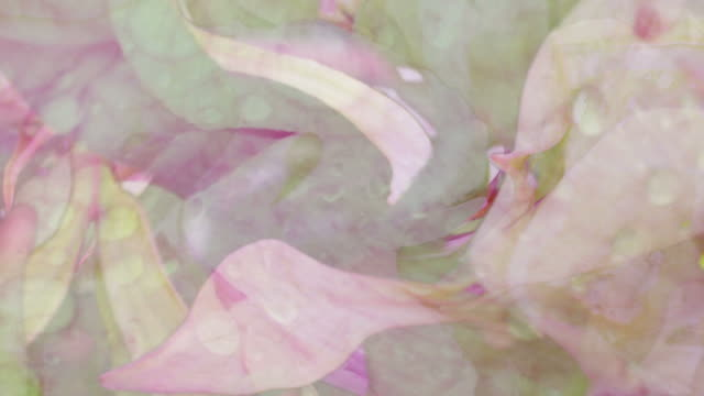 PEONIES : close-up, vibrant color, spin (LOOP)