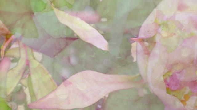 vidéos et rushes de pivoines :  gros plan, couleur vive (boucle) - printemps