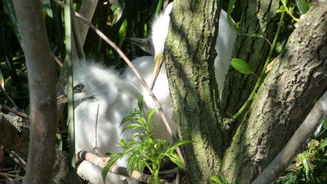 closeup video of egrets in their nest with ambient sound - chicken bird stock videos & royalty-free footage