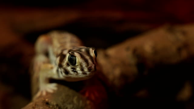 close-up view of a leopard gecko - reptile stock videos & royalty-free footage