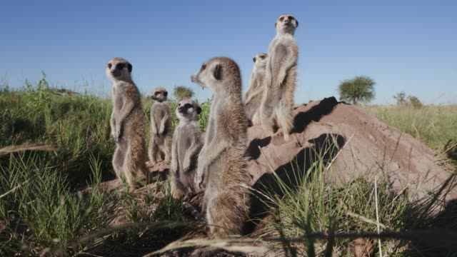 4K close-up view of a small group of meerkats sunning themselves in the early morning sun ontop of their burrow, Botswana
