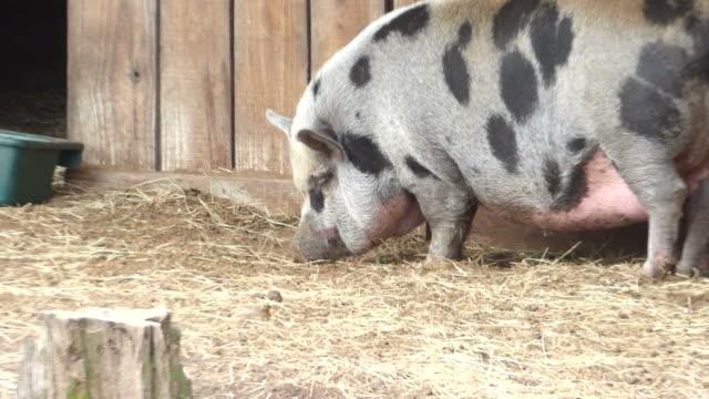nahaufnahme der ansicht einer sehr breite schwarze und weiße meerschweinchen futter suchen auf dem boden für ihr erster feed - futter suchen stock-videos und b-roll-filmmaterial