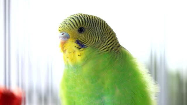 close-up view of budgerigar in birdcage - budgerigar stock videos & royalty-free footage