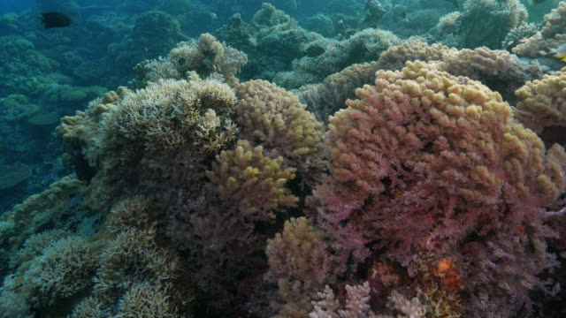 close-up view of coral reef, soft coral, apo reef - soft coral stock videos & royalty-free footage