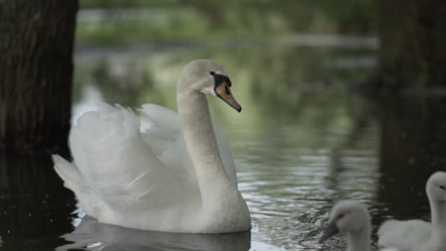 close-up view of elegant mother swan and its cygnets on a lake floating peacefully. - cygnet stock videos & royalty-free footage