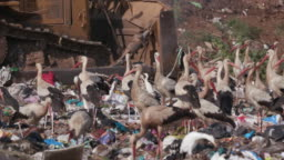 4K close-up view of European White Storks scavenging for food on a landfill dump site while a bulldozer works right next to them