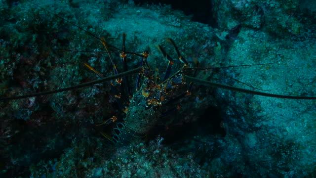 vidéos et rushes de vue de plan rapproché du homard épineux rouge d'ogasawara - animaux à l'état sauvage