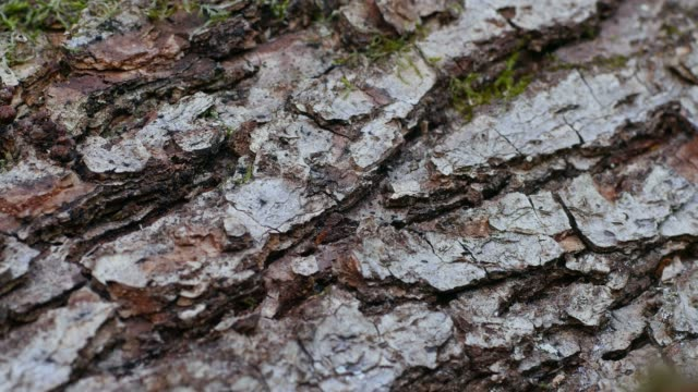 vídeos y material grabado en eventos de stock de close-up view of pine bark, rhineland-palatinate, germany, europe - corteza