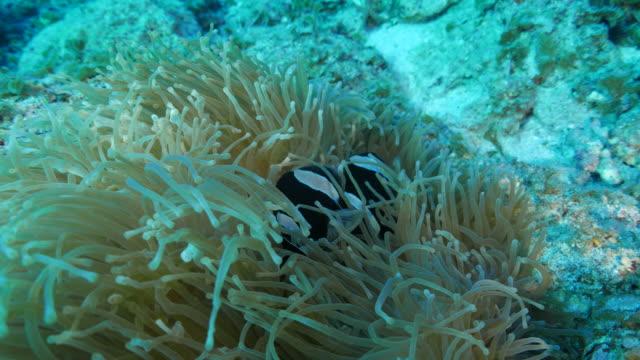 vídeos de stock, filmes e b-roll de vista do close-up de anêmona do mar e anemonefish - relação simbiótica