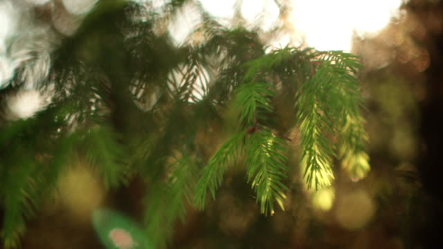 close-up view of the evergreen needle in the pine tree. beautiful fresh forest background in bright day - raggio di sole video stock e b–roll