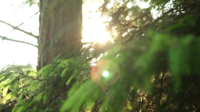 Close-up view of the evergreen needle in the pine tree. Beautiful fresh forest background in bright day