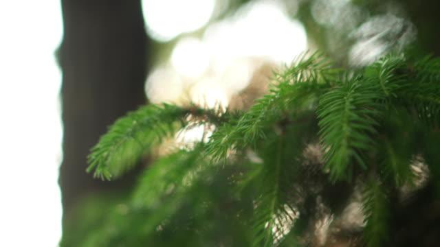 närbild av vintergröna nålen i tallen. vackra färska skogen bakgrund i ljusa dagen - tallträd bildbanksvideor och videomaterial från bakom kulisserna