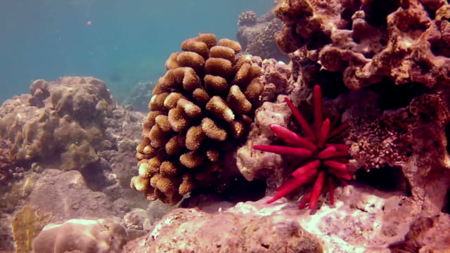 close-up view of underwater reef and pencil urchin - sea urchin stock videos and b-roll footage