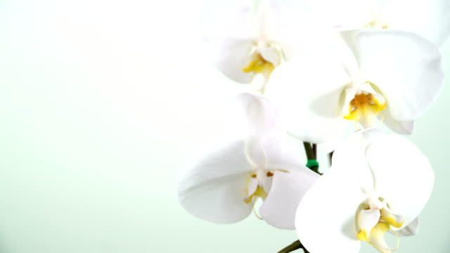close-up view on phalaenopsis orchid - orchid stock videos & royalty-free footage