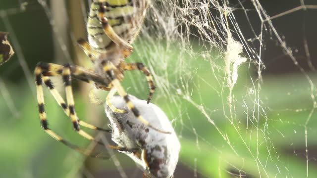 vídeos de stock, filmes e b-roll de closeup, wasp spider feeding - cativeiro
