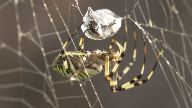 vídeos de stock, filmes e b-roll de closeup, wasp spider wrapping prey - confinamento