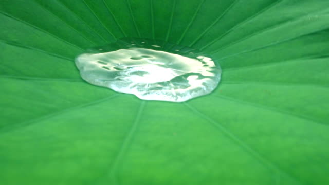 close-up water on lotus leaf - lily stock videos & royalty-free footage