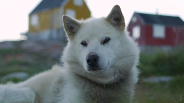 close-up: white dog relaxing on field - disko bay, greenland - inuit bildbanksvideor och videomaterial från bakom kulisserna