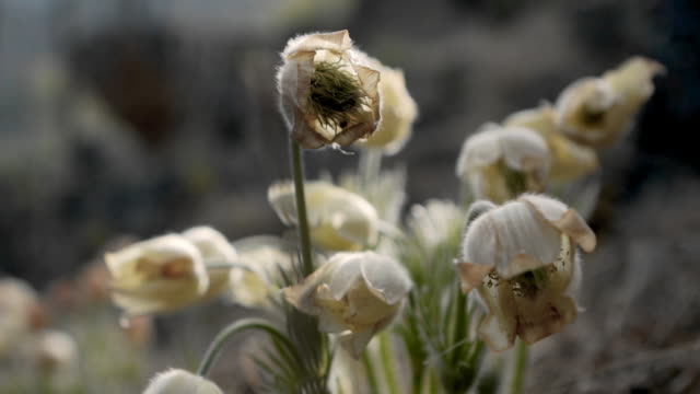 close-up: white flowers growing outdoors - ulaanbaatar, mongolia - stamen stock videos and b-roll footage