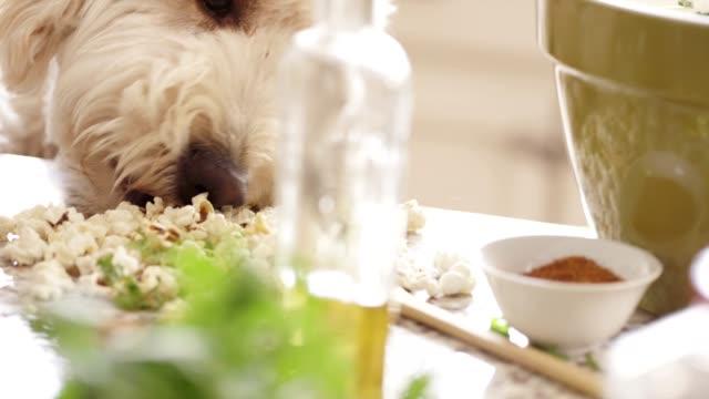 closeup white fluffy dog eating popcorn - coriander stock videos & royalty-free footage