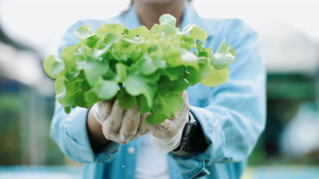 close-up woman agriculture vegetables in hydroponic farm - water plant stock videos & royalty-free footage