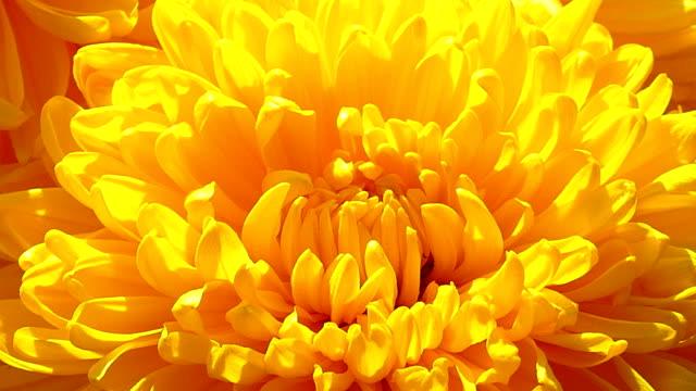 close-up - yellow chrysanthemum flower - chrysanthemum stock videos & royalty-free footage
