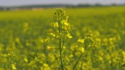 Closeup Yellow Flowers On The Blooming Field Of Rapeseed Or Canola