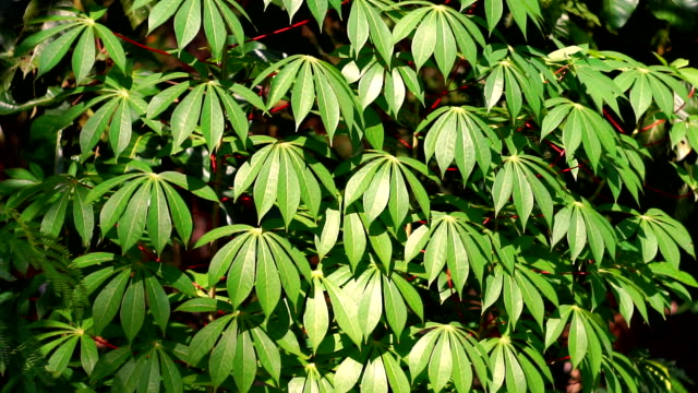 close-up zoom in of tropical umbrella plant on windy day - tropical tree stock videos & royalty-free footage