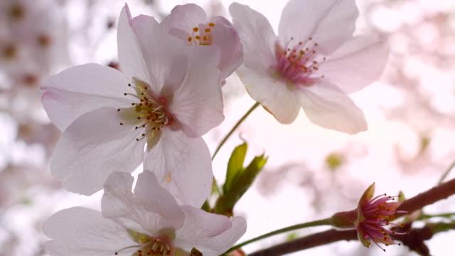クローズアップ:桜 - 桜の花点の映像素材/bロール