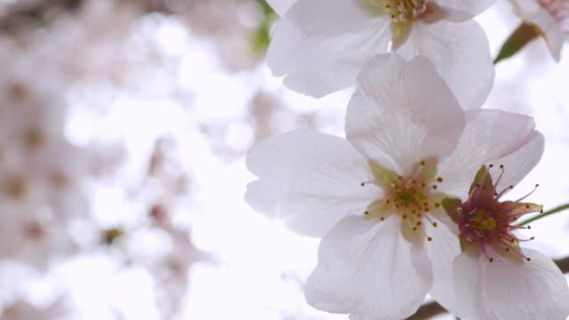 Close-up:Cherry blossoms