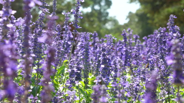 Close-up:Lavenders flowers