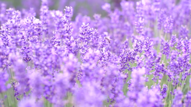 Sluiten-omhoog: lavendels bloemen